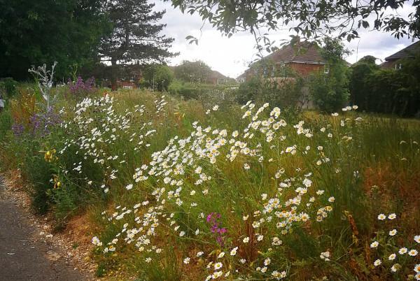 Landsdowne Road wildflowers during 2020